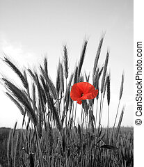 red poppy on background of wheat ears