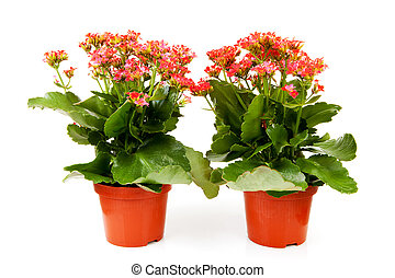 two pink kalanchoe flower plants isolated on white...