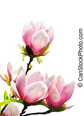 magnolia tree blossoms on white background