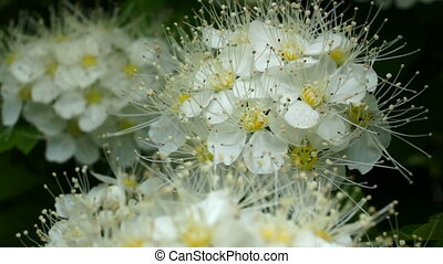 White flowers sway - White hawthorn flowers swaying in the...