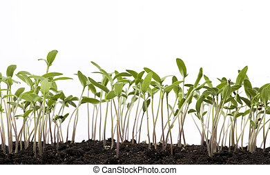 art tomato seedlings in the spring glasshouse - tomato...