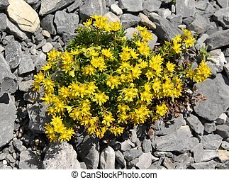 Sedum Acre - A flowering Sedum Acre in the alps