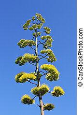 agave's, flor