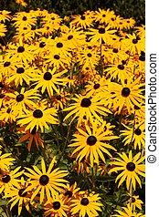 Echinacea - A yellow Echinacea in the sun