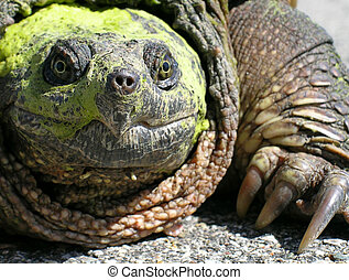 Common Snapping Turtle Chelydra serpentina - A closeup view...