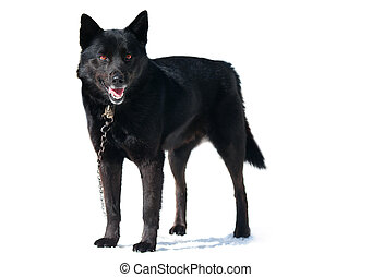 Black dog on a chain with a collar