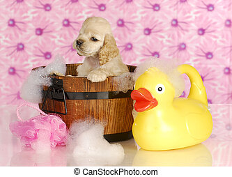 dog bath - american cocker spaniel in wash tub full of...