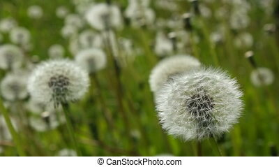 Swinging white dandelions