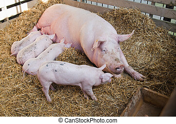 The pig feeds small pink pigs