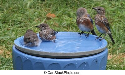 Eastern Bluebirds Sialia sialis - Family of Eastern Bluebird...