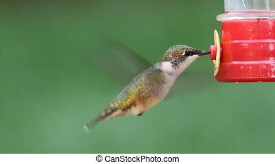 Ruby-throated Hummingbird - Juvenile Ruby-throated...