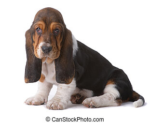 Portrait of basset-haund puppy on gray