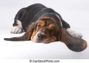Portrait ofsnoozing basset-haund puppy - Portrait of...