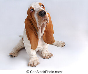 Portrait of sad basset-haund puppy - Portrait of...