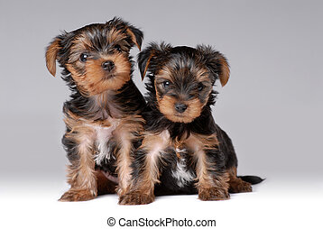 Portrait of two puppies of yorkshire terrier