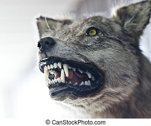 Angry wolf - Close up of an angry wolf