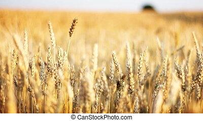 Golden cereal crop, Harvest time.