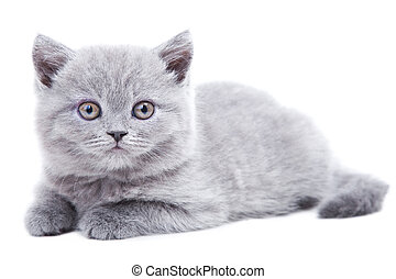 Studio portrait  of cute young gray British kitten  lying on isolated white background