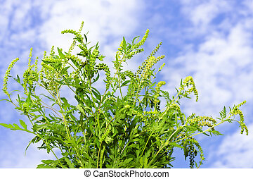 Ragweed plant - Flowering ragweed plant in closeup against...