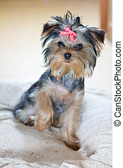 Puppy Yorkshire Terrier - Small puppy Yorkshire Terrier...