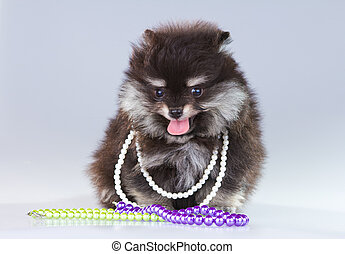 Pomeranian puppy - Little fluffy Pomeranian puppy on a gray...