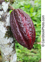 Pod of Arriba cacao in Ecuador - Ripening pod of Arriba...