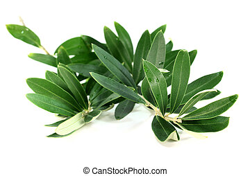 Olive branch - an olive branch on a white background