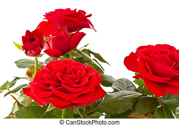 flowering bush of red roses on a white background