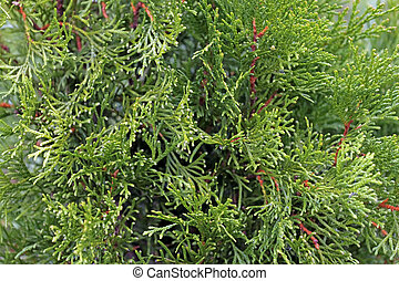 White cedar green background - Autumn close-up of Thuja...