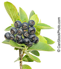 Aronia cutout - Aronia stem, Aronia melanocarpa isolated on...