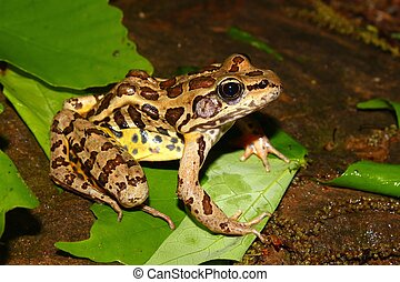 Pickerel Frog Rana palustris in the southern USA