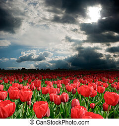 Tulip field with storm clouds