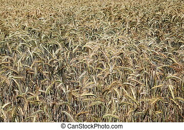 Nature\'s Colours Ripening Wheat