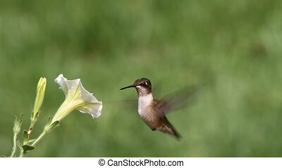 Hummingbird at a Flower - Ruby-throated Hummingbird...