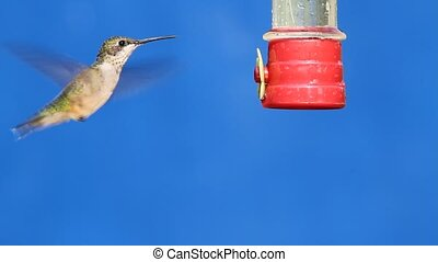 Hummingbird at a Feeder - Ruby-throated Hummingbird...