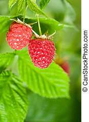 Raspberries - Some ripening raspberries on the bush in a...