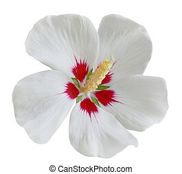 White Red Hibiscus - White red hibiscus flower isolated on...