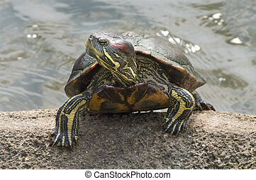 Red-eared Slider Trachemys scripta elegans in water