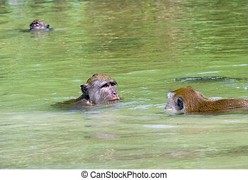Monkey bathes in the water, Penang, Malaysia