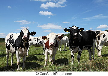 Three Young Dairy Cows In A Row