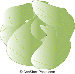 cabbage - illustration of cabbage - vector