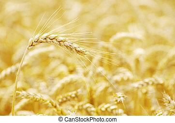 wheat field - golden wheat field in summer