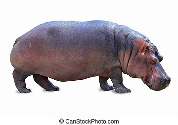 hippopotamus isolated - standing hippopotamus isolated on...