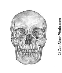 human anatomy - skull and crossbone - a sketch in black and...
