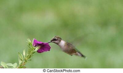 Ruby-throated Hummingbird (archilochus colubris) in flight...