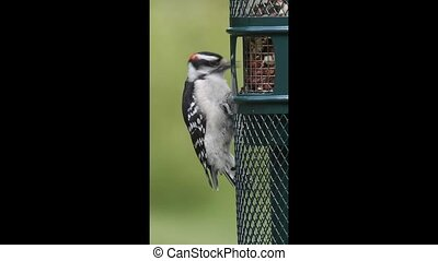 Downy Woodpecker Eating Peanuts - Downy Woodpecker Picoides...