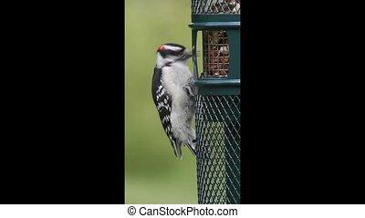 Downy Woodpecker Eating Peanuts - Downy Woodpecker (Picoides...