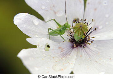 Green grasshopper on a beautiful white poppy