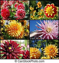 Dahlia, flores, colagem