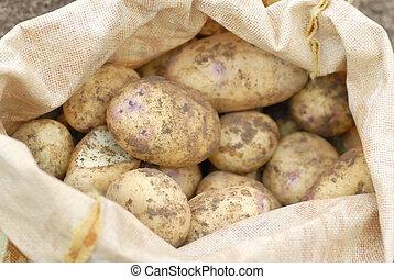Sack of freshly harvested organic allotmen potatoes.